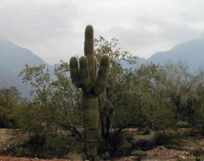 Saguaro14
