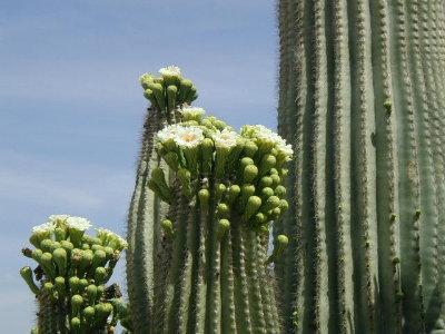 Saguaroflower2_2